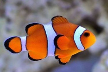 amphiprion-ocellaris-cativeiro